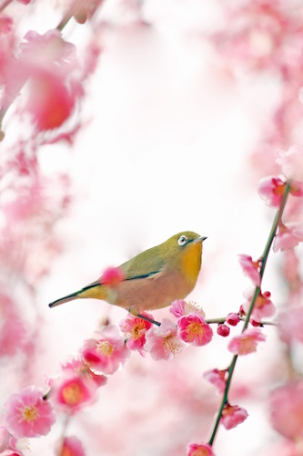 Bird in Cherry Blossom Tree