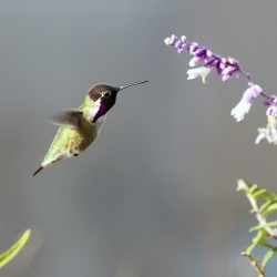 Humming bird photo by CSUSB photographer Robert Whitehead